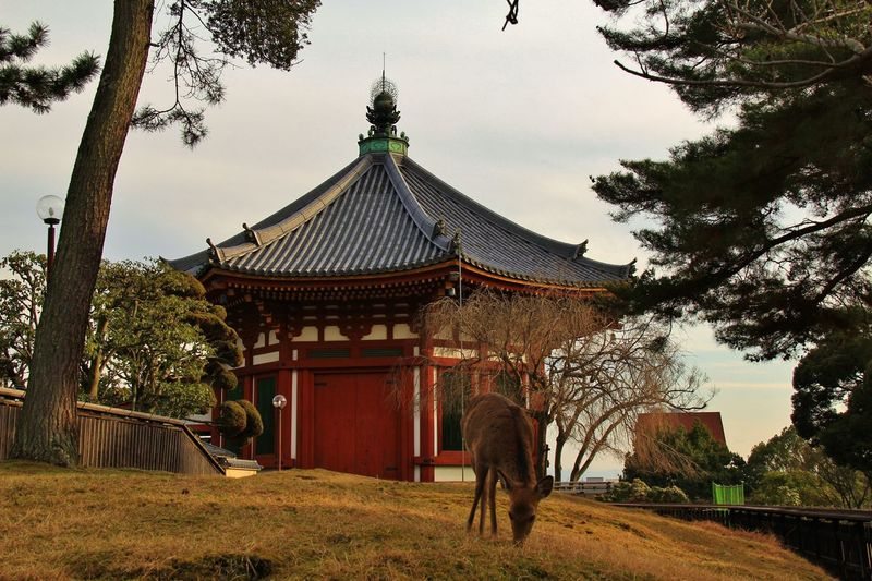 View of a deer in front of a japanese temple