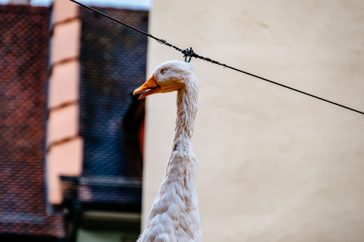Dead bird hanging on rope in city