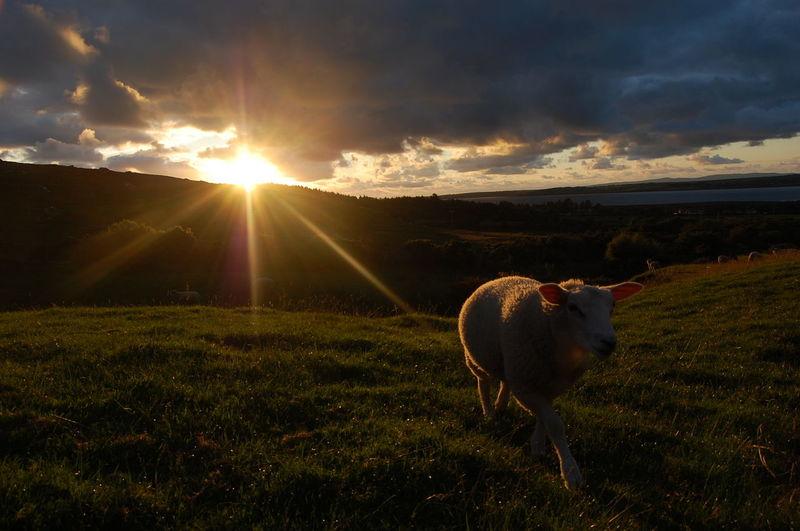 Sheep walking on field at sunset