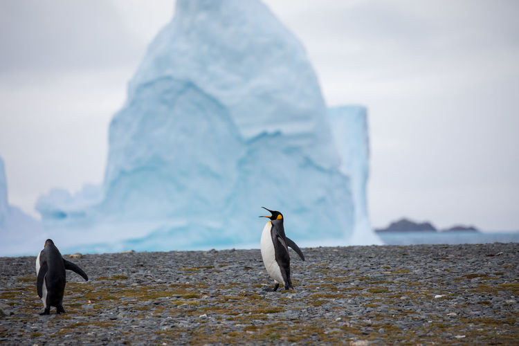 Penguins At Beach Against Iceberg In Sea