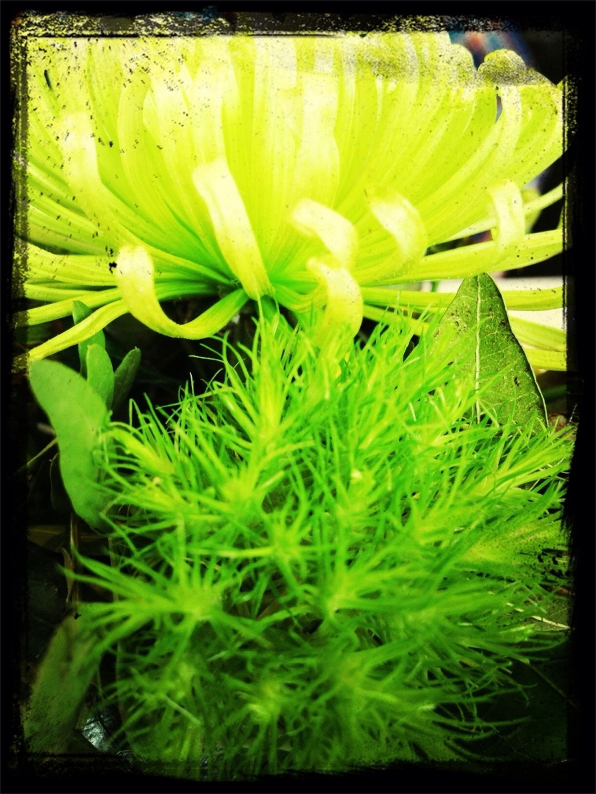 transfer print, auto post production filter, freshness, growth, flower, green color, beauty in nature, close-up, fragility, nature, plant, flower head, leaf, yellow, full frame, backgrounds, petal, green, no people, day