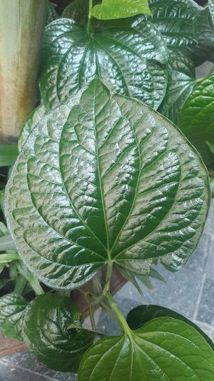 Betel leaf Betel Leaf Leaf Tree Close-up Plant Green Color Banana Tree Leaves Natural Pattern