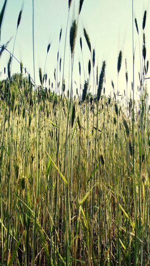 Getreidefeld Landwirtschaft Feld Oberkrumbach