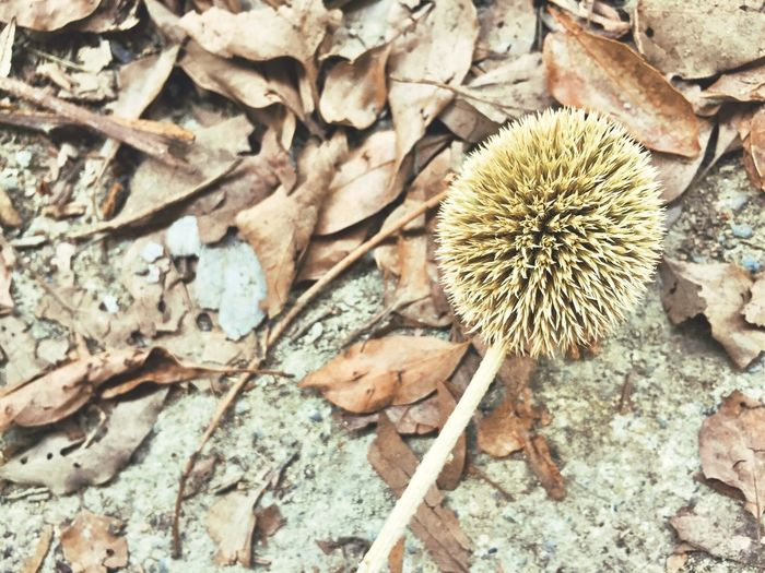 Dry Nature Outdoors Day No People Fragility Plant Close-up Flower Head