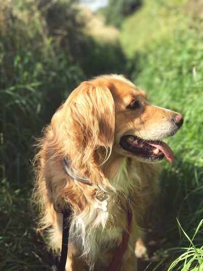 Daisy + Overgrown Hedges Dog Pets One Animal Domestic Animals Animal Themes Mammal Focus On Foreground Day No People Close-up Grass Outdoors Nature Retriever Retrieveroftheday EyeEmNewHere EyeEm Best Shots Postcode Postcards