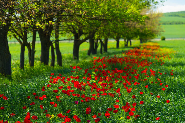 Scenic view of red flowering trees on field