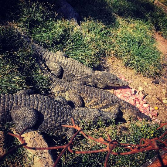 Feeding time! 🐊 Crocodiles Nofilter Reptiles Beautiful Nature West Africa IPhoneography Adventure Feeding Animals This Week On Eyeem Excursion Farm Januaryphotochallenge Showcase: January Senegal Unedited Tadaa Community