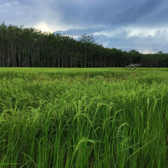 Rice field and rubber trees Thailand Rice Field Green Rubber Tree Rural Scene Landscape Agriculture Growth Crop  Tree Field Rural Scene Green Color No People Freshness Food Beauty In Nature Rice Paddy Nature Outdoors Day An Eye For Travel