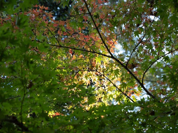 Low angle view of maple tree leaves in forest