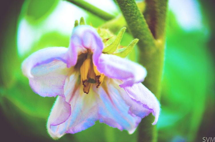 This flower grows in an Eggplant shrub. Weird Beautiful Nature Flowers,Plants & Garden