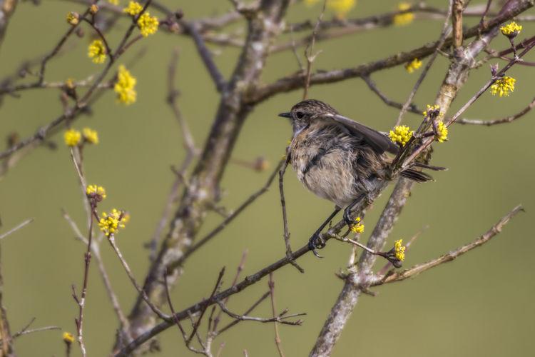 A stonechat on his vantage point Grass Nature Songbird  Stonechat, Animal Animals World Bird Birds Feather  Landscape Meadow Outdoors Plumage Saxicola Torquatus, Singing Bird