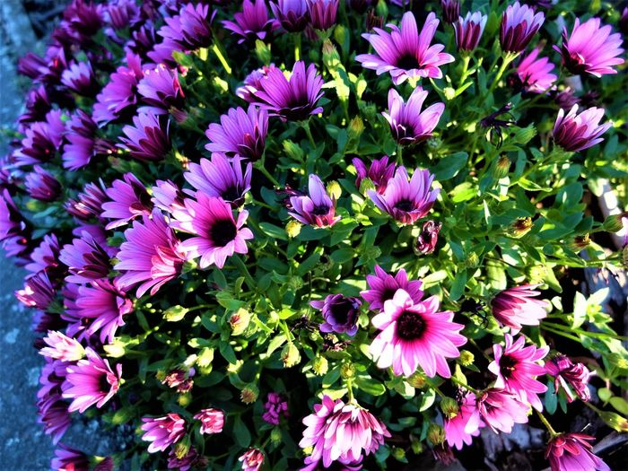 Morning Flower African Daisy Beauty In Nature Blooming Close-up Flower Flowers In Sunlight Freshness Nature Petal Plant EyeEmNewHere