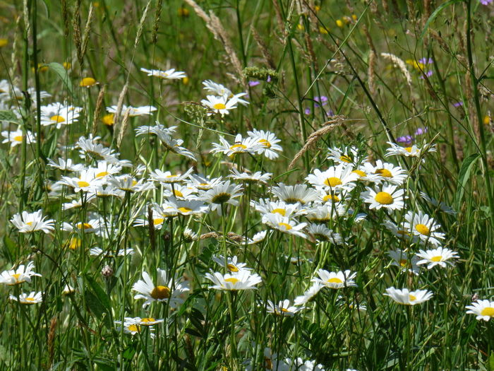 Beauty In Nature Close-up Daisies Field Daisy Day Field Flower Flower Head Flowerbed Flowering Plant Fragility Freshness Grass Green Color Growth Land Nature No People Outdoors Petal Plant Vulnerability