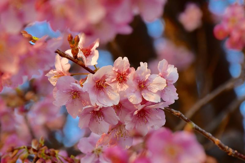 Sakura Cherry Blossom EyeEm Selects Flowering Plant Flower Plant Fragility Beauty In Nature Vulnerability  Branch Close-up Freshness Flower Head Pink Color Blossom No People Day Petal My Best Photo