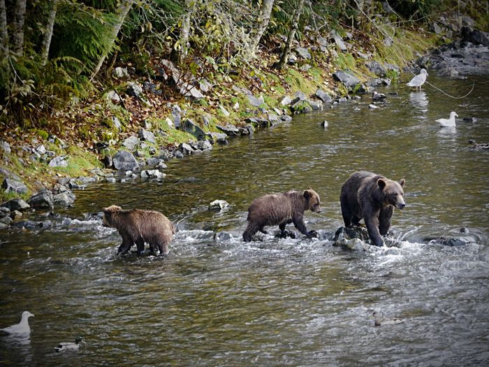 Grizzly mother and cubs - Grizzlymutter mit Jungen Bärenfamilie Kanada Canada Westkanada British Columbia Grizzlies Beim Lachse Fangen Grizzlies Catching Salmon Grizzly Cub Braunbär Knights Inlet Lodge Great Bear Rainforest Animal Wildlife Bear Animals In The Wild Animal Grizzly Bear No People Nature Mammal River Young Animal Outdoors Wilderness