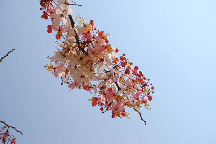 Sky Flower Flowering Plant Plant Fragility Low Angle View Freshness Beauty In Nature Growth Vulnerability  Clear Sky Tree Nature Blossom Springtime Branch Day No People Close-up Copy Space Pink Color Outdoors Cherry Blossom Cherry Tree Flower Head