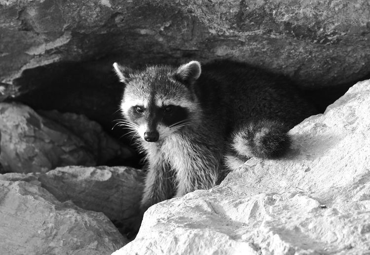 Raccoon in cave