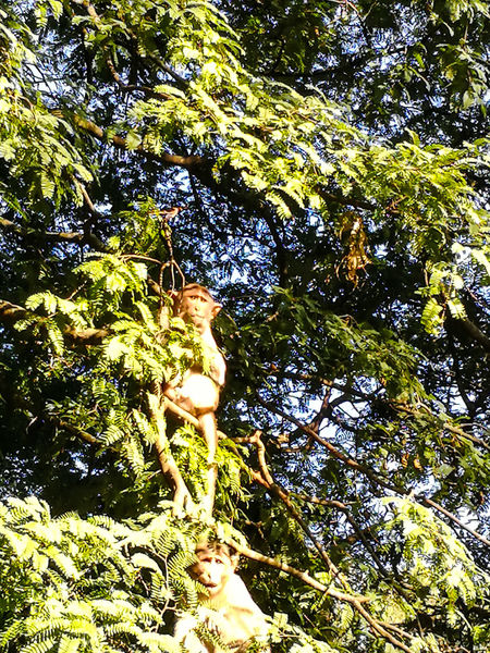 TWO MONKEYS ON THE TREE Mammals Wild Animals Nature Beauty In Nature Looking At The Camera Hiding Between The Branches Of The Tree Day Outdoors Two Monkeys