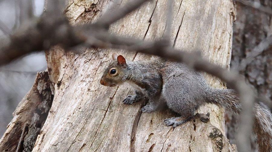Squirrel on a tree Ottawa Ont. Animal Wildlife Animals In The Wild Close-up Mammal Squirrel Squirrel Closeup Squirrel Photo Squirrel Life Squirrelwatching