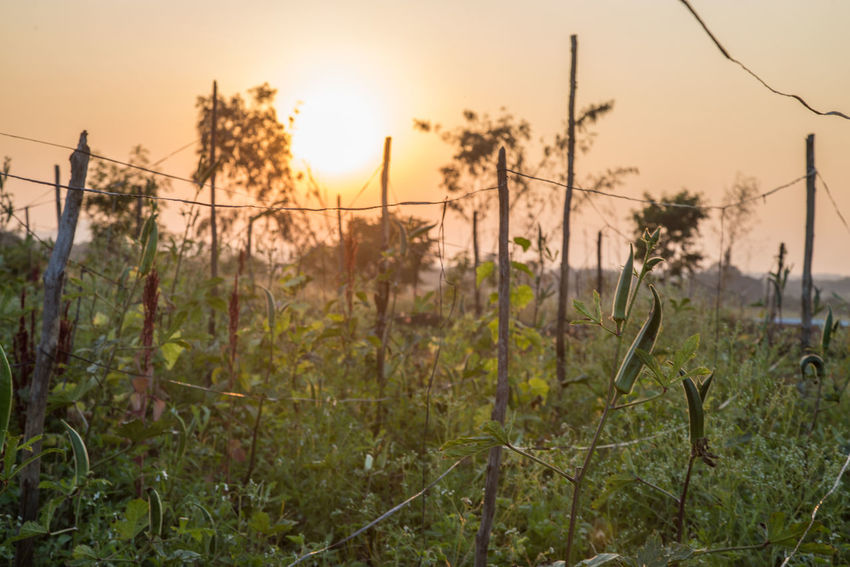 Agriculture Day Farm Farm Life Farmland Grow Growing Plants Growth India Ladyfingers Landscape Nature No People Outdoors Permaculture Plant Sky Sunset Sunset #sun #clouds #skylovers #sky #nature #beautifulinnature #naturalbeauty #photography #landscape Sunset_collection Tree Vegetable Veggies