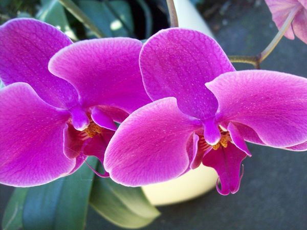 Beauty In Nature Close-up Day Flower Flower Head Flowering Plant Fragility Freshness Growth Inflorescence Nature No People Orchid Outdoors Petal Pink Color Plant Purple Vulnerability