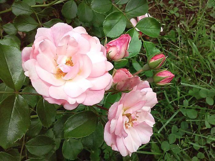 Roses Pinkroses