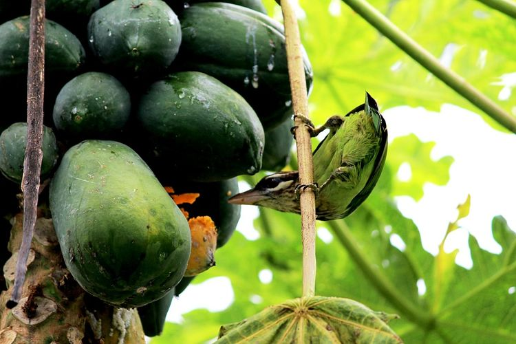 Caught in action! 🐦🐦🍐 Learn & Shoot: Simplicity Getting Inspired Nature Observing The World Showcase : January Eye4photography  EyeEm Best Shots Check This Out Taking Photos No People Tadaa Community Follow4follow Nature Photography Nature On Your Doorstep Caught In The Act Caught In The Moment Followme Nature Birds Bird Photography Pappaya Tree Fruits Fruit Eating Garden Garden Photography