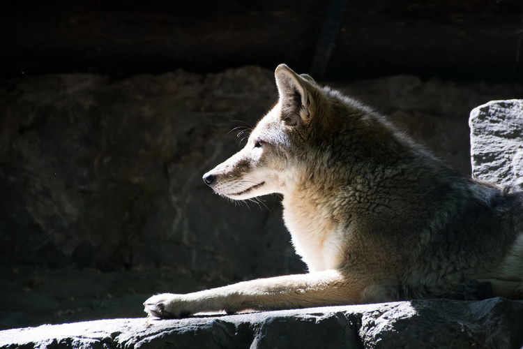 Side view of a wolf looking away
