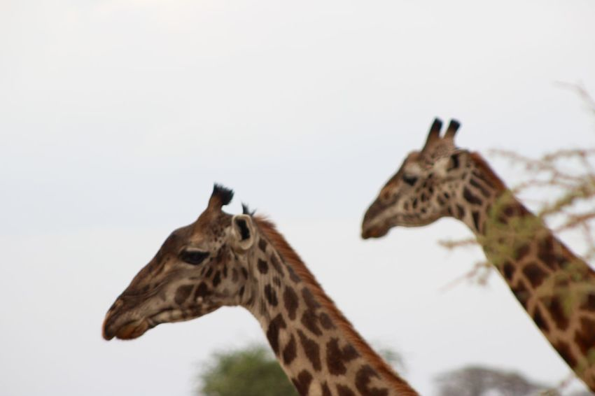 Africa Animal Markings Animal Themes Animals In The Wild Copy Space Focus On Foreground Giraffe Low Angle View National Park One Animal Pair Of Giraffes Safari Serengeti Serengeti National Park Serengeti, Tanzania Space For Text Wildlife
