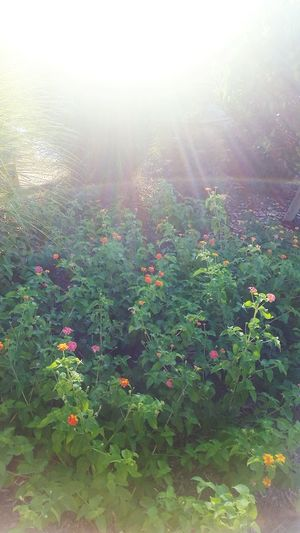 Bushes Flowers,Plants & Garden Sun Flowers And Plants Bush Sunny Plants Plants And Flowers