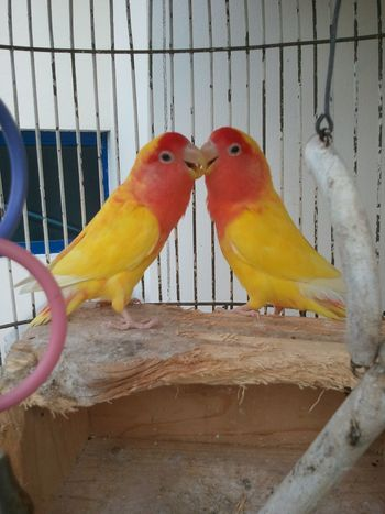 Bird Animal Themes Cage No People Nature Day Perching Outdoors Close-up Pets Kissing Valentine's Love Valentine's Day  Valentine's Kiss Lovers Nopeople Connection