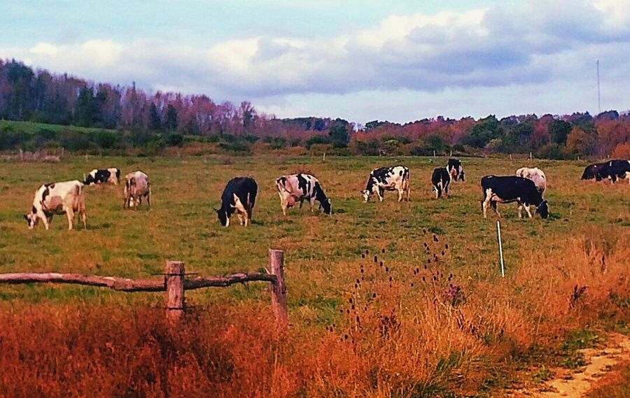Colors Farm Cattle Today's Hot Look Beautiful Nature Countryside Ipulledoverforthis Autumn Iphoneonly Farm Life