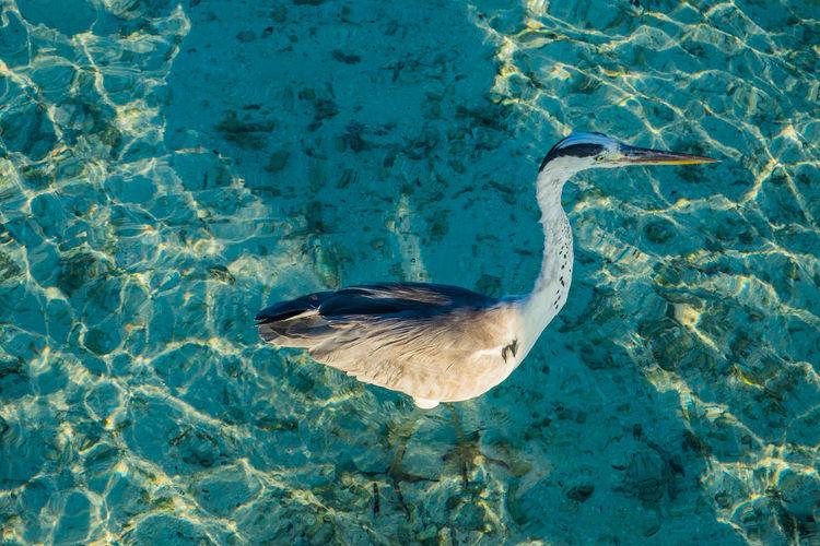 Grey heron at the beach, maldives