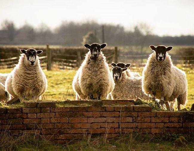 Measham Sheepish! 🐑 Sheep Farm Farmanimals Measham Leicestershire Animals Animal Wildlife Animalphotography Animalphotos Canon Canon600D Photographer Spring Springishere Springtime Amateurs_shot Explorebritain @explore_britain_ Amateurphotography Explore_britain