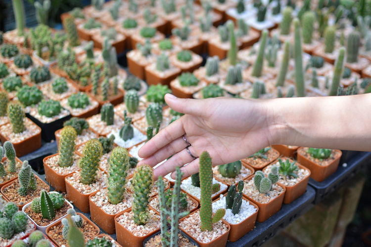 Close-up of female hand touching cactus plants