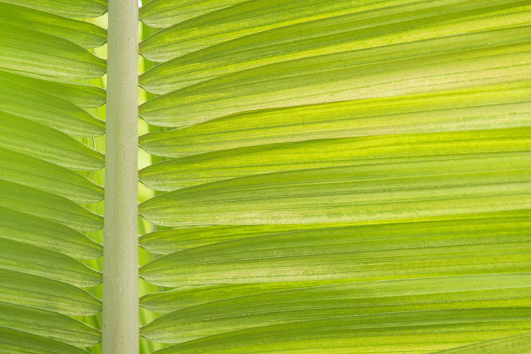 Close up a green tropical palm tree leaf Palm Tree Tropical Green Green Color Leaf Plant Part Plant Backgrounds Natural Pattern Pattern Nature Full Frame Close-up Palm Leaf