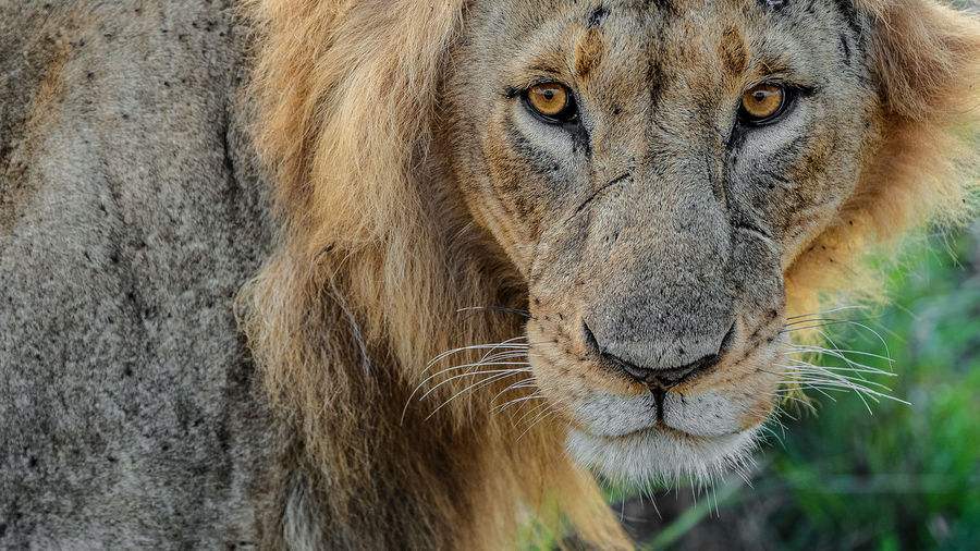 Animal Themes Animal Wildlife Animals In The Wild Close-up Day Lion - Feline Looking At Camera Mammal Nature No People One Animal Outdoors Portrait Safari Animals