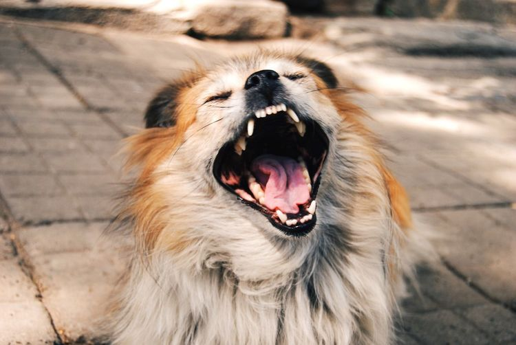 Tired dog yawning on footpath