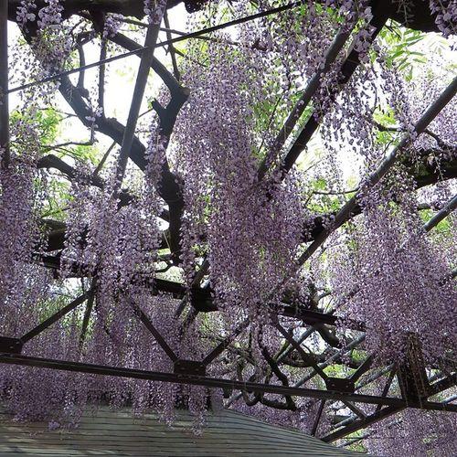 Canon Eos30d タムロン 藤 藤棚 黒木の大藤 天然記念物