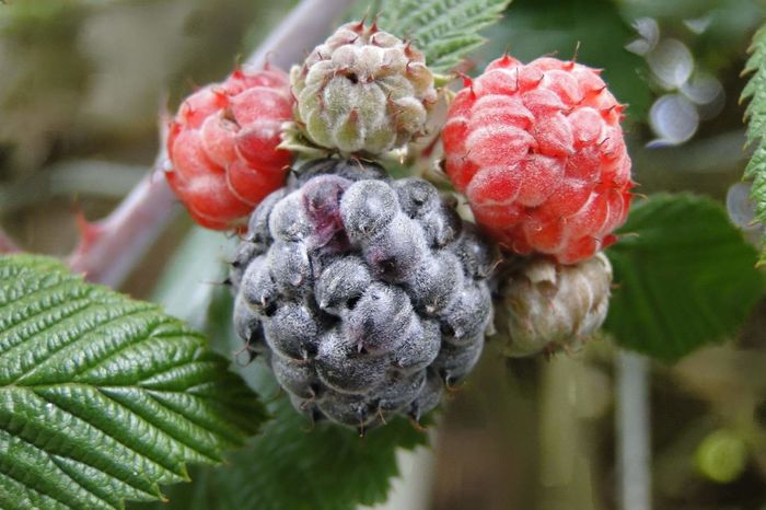 Plant Close-up Nature Growth Outdoors Fruit Freshness Beauty In Nature Blackraspberry Rasperry Framboesa Framboesas Framboises Framboise Framboesa Preta Organic Food Organic Fruit Organico My Garden Fresh Fruits Fruit Tree Fruits Black Fruit Red Fruits Frutas