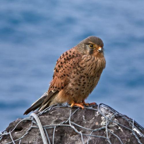 Kestrel perching on rock against sea