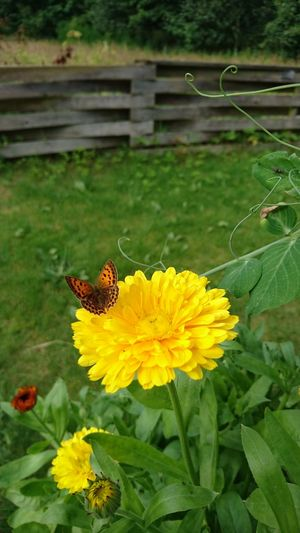 From the Garden. Garden Garten Flower Floewers Butterfly Butterfly Collection Butterfly - Insect Butterfly ❤ Contryside Contry Living No People Fence