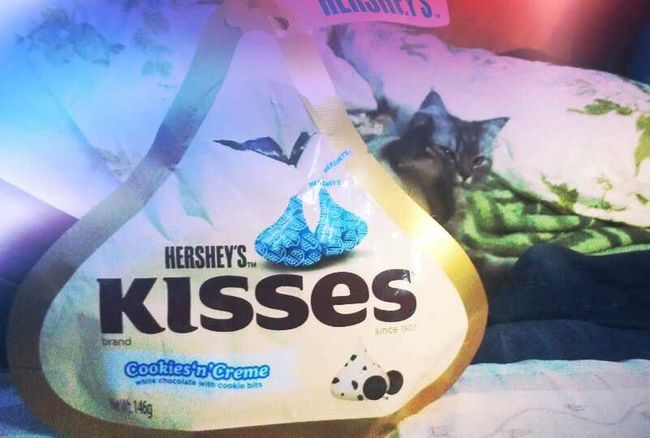 Chocolate Cats Check This Out Pets