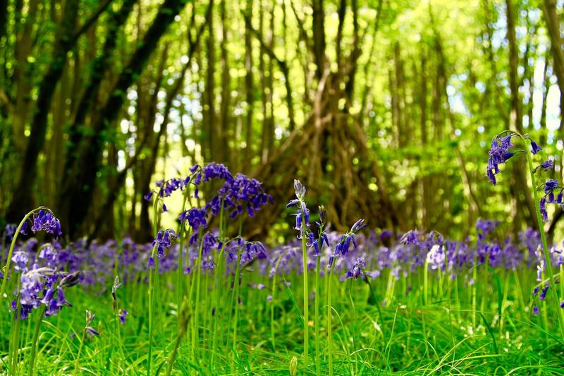 Flower No People Freshness Growth Outdoors Bluebells Close-up Essex Chalkney Wood