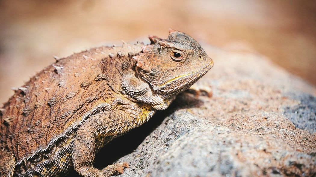Toad Horned Horny Toad Check This Out Enjoying Life Nature Lizard Reptile Sharp Arizona Animals Hiking Desert