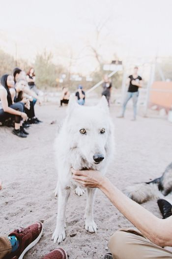 Palmdale California Los Angeles, California Nature Wolf Dog Hello Pets Outdoors Wolves♥ Nature Walk Wolf Adventure Buddies Travel Destinations Furry Friends Petting
