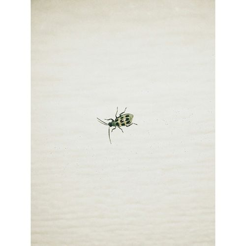 A Bug's Life | Spotted Cucumber Beetle Nature Insects  Spottedcucumberbeetle