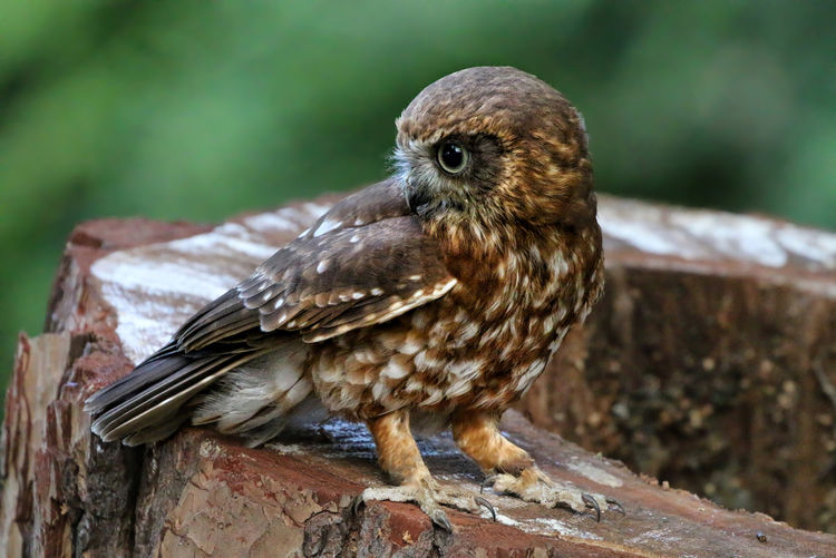 Boobook Owl Animal Animal Themes Animals In The Wild Avian Beak Bird Close-up Day Focus On Foreground Full Length Nature New Life No People One Animal Outdoors Perching Wildlife Zoology