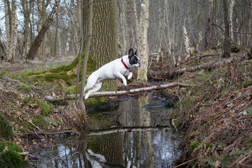 Bulldog Français Bully Cute Dog  Dog Dog In Action Dog Jumping Dog Jumping Over Water Domestic Animals Fliegender Hund Flying Dog Flying Dogs Französische Bulldogge  Frechbulldog French Bulldog Frenchie Hund Hund Im Flug Hund In Aktion Hund Springt über Bach Hund Um Wald Im Wald In The Forest Nature Outdoors Pets Go Higher