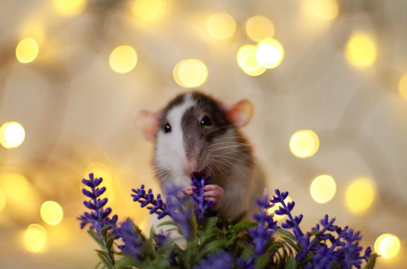 Japa Rats Ratties Rattie Ratty Ratlove Flowers Defocused Portrait Hamster Close-up Rodent Rat